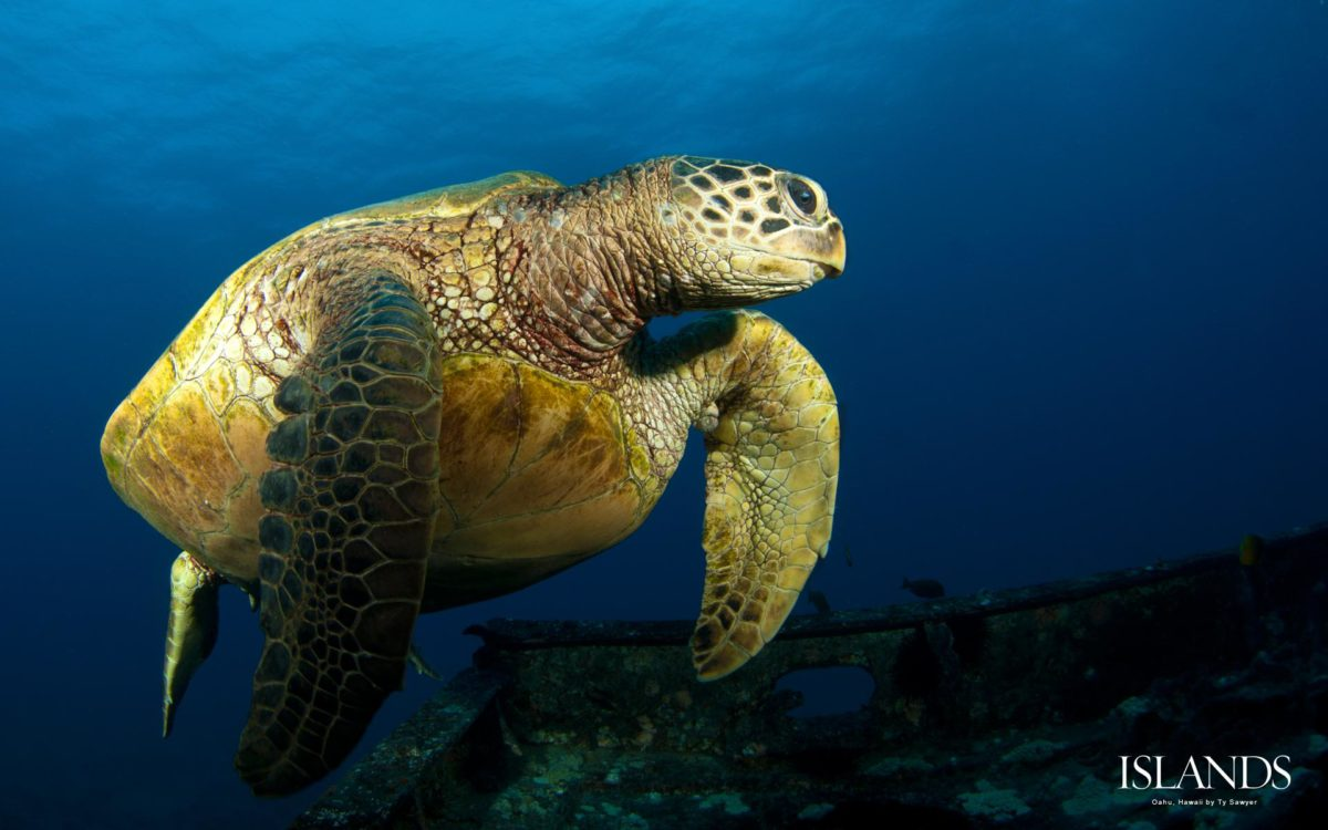 About Barbados Sea Turtles - Dive Hightide